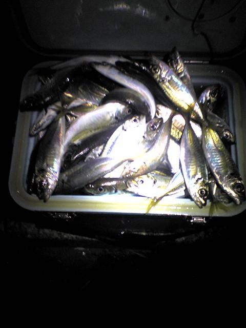 当時の写真 真夜中に釣ったアジ