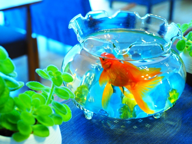 涼しげな金魚は涼を呼びます。